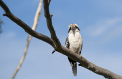 Kookaburra perched in tree. Stock Photos