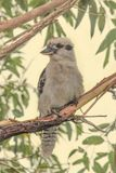 Kookaburra perched in a tree Royalty Free Stock Photo