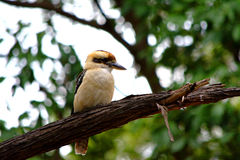 Kookaburra. This picture was shot inside the royal national park of Sydney. A kookaburra free look around Stock Photography