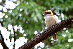 Kookaburra. This picture was shot inside the royal national park of Sydney. A kookaburra free look around Stock Photo