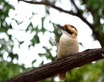 Kookaburra. This picture was shot inside the royal park of Sydney. A kookaburra free look around Royalty Free Stock Photos