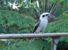A Kookaburra with a piece of meat Stock Photo