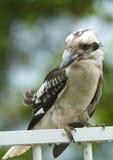 kookaburra poręcza obsiadanie Obraz Royalty Free