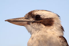Kookaburra portrait. Beautiful kingfisher portrait showing fine detail of its plumage royalty free stock photography
