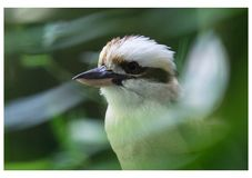 Kookaburra portret zdjęcia stock