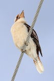 Kookaburra on power line Stock Images
