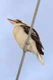 Kookaburra on power line Royalty Free Stock Photography