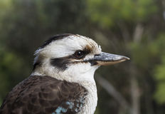 Kookaburra profile Royalty Free Stock Photos