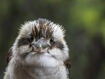 Kookaburra que olha o Foto de Stock