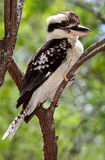 Kookaburra. A kookaburra in Queensland, Australia Royalty Free Stock Images