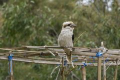 Kookaburra resting on a structure royalty free stock photo