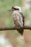 Kookaburra riant été perché sur un branchement. photo libre de droits