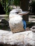 Kookaburra riant Image stock