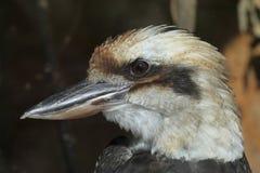 Kookaburra riant (novaeguineae de Dacelo) Photographie stock libre de droits