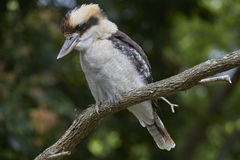 Kookaburra Stock Photo