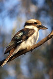 Kookaburra Royalty Free Stock Photos