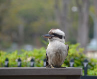 Kookaburra sitting on a fence. A kookaburra sitting on a wooden fence. Green bushes are in the background Stock Photo