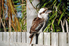Kookaburra sitting on suburban house fence Stock Photos