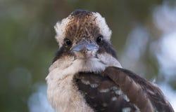 Kookaburra arkivbilder