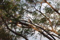 Kookaburra spojrzenie Obrazy Stock