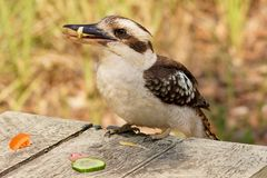 Kookaburra stealing food in an Australian forest stock photos