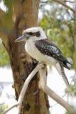 Kookaburra su un primo piano dell'albero Immagine Stock