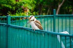 Kookaburra su un recinto Immagini Stock Libere da Diritti