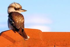 Kookaburra su un tetto Fotografia Stock