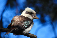 Kookaburra. A Kookaburra taken in Lane Cove National Park, Sydney Australia Royalty Free Stock Images