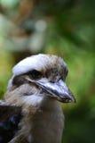 Kookaburra. A Kookaburra in a tree close up.  Kookaburras are native to Australia and New Guinea Stock Image