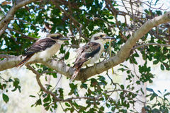 Kookaburra and snake Royalty Free Stock Photography