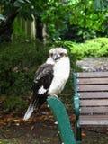 Kookaburra, un uccello fotografie stock