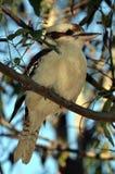 Kookaburra Vogel im Gummibaum lizenzfreie stockbilder