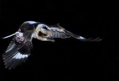 Kookaburra w locie fotografia stock