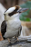 Kookaburra wild Stock Image