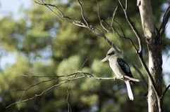 Kookaburra, Wilpena, SA, Αυστραλία στοκ εικόνα με δικαίωμα ελεύθερης χρήσης