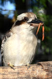 Kookaburra with worm Royalty Free Stock Images