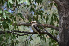 Kookaburra in Yanchep National Park, Perth Royalty Free Stock Photo