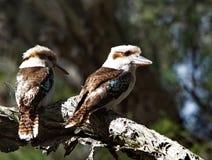 Kookaburras de risa Fotografía de archivo libre de regalías