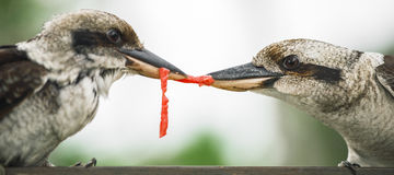 Kookaburras fighting for food during the day. Australian kookaburras outdoors fighting for food during the day in Queensland Royalty Free Stock Photo