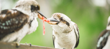 Kookaburras fighting for food during the day. Australian kookaburras outdoors fighting for food during the day in Queensland Stock Images