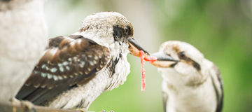 Kookaburras fighting for food during the day. Australian kookaburras outdoors fighting for food during the day in Queensland Royalty Free Stock Image