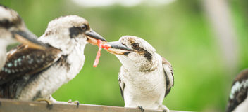 Kookaburras fighting for food during the day. Australian kookaburras outdoors fighting for food during the day in Queensland Royalty Free Stock Images