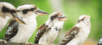 Kookaburras gracefully resting during the day. Australian kookaburras resting outdoors during the day in Queensland Stock Photo