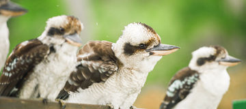 Kookaburras gracefully resting during the day. Australian kookaburras resting outdoors during the day in Queensland Stock Photos
