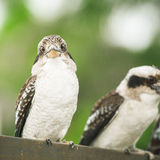 Kookaburras gracefully resting during the day. Australian kookaburras resting outdoors during the day in Queensland Royalty Free Stock Photo