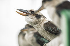 Kookaburras gracefully resting during the day. Australian kookaburras resting outdoors during the day in Queensland Royalty Free Stock Photography