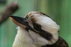 Kookaburras. Are terrestrial tree kingfishers of the genus Dacelo native to Australia and New Guinea Royalty Free Stock Image