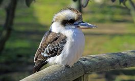 Kookaburra at Marwell Zoo stock photography