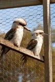 Kookaburras. Two native Australian kookaburras in a wire enclosure Stock Photography